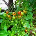 挿し芽で育てたミニトマトが鈴なりです