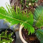 ソテツの新芽をクロマダラソテツシジミの幼虫が食い荒らす