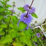 ダンギクの花の蜜を求めて蜜蜂と蝶がやってきて賑やかです