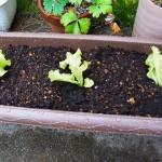 サニーレタスの苗を植える