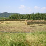 南農園の刈り取り風景です(2014.秋)