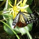 海を渡る蝶「アサギマダラ」