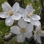 えっ、桜の花が咲いている?姶良市「別府川」沿い