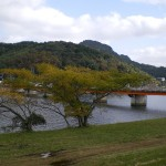 別府川沿いのセンダンが紅葉しています