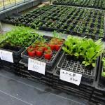 ストロベリートーチの苗を買う
