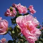 八重咲きのフヨウ