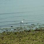 重富干潟のコサギ2014.01.03