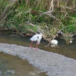 餌を漁るアオサギ、霧島市隼人町天降川で