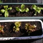 チマサンチュとサニーレタスを植える