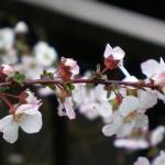 ユキヤナギが咲きだしました