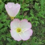 ヒルザキツキミソウが咲きだしました