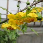 ミッキーマウスの木の花が咲いた