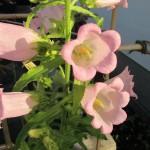 カンパニュラが咲きだしました