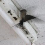 番で巣作りに励む燕