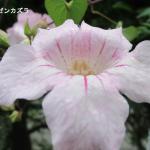 ノウゼンカズラが咲きだしました