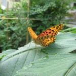 皇帝ダリアの葉で翅を休めるツマグロヒョウモン