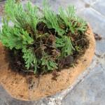 イワヒバを軽石の鉢に植える