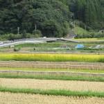 刈り取り中の田んぼ2015.10.11