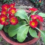 プリムラを植える