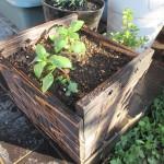 手作り木製鉢にゴテチャを植える