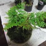 シダ植物で苔玉を作ってみる