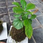 苔玉作りに挑戦・・・アイビー、テーブルヤシ、コーヒーの木