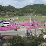 姶良市蒲生町「花の森 徳重」2018.03.31 芝桜満開